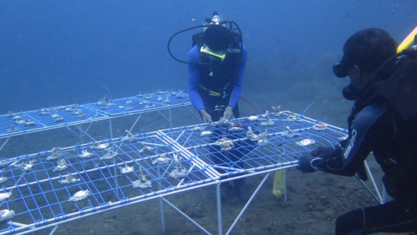 Volunteer divers with coral nursery tables