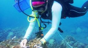 Dive volunteer planting coral